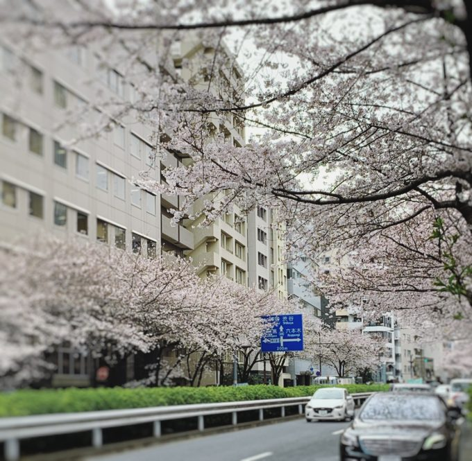 明治通り桜満開までの道のり・・・ 〜恵比寿・広尾の美容院BEKKU hair salonのブログ〜