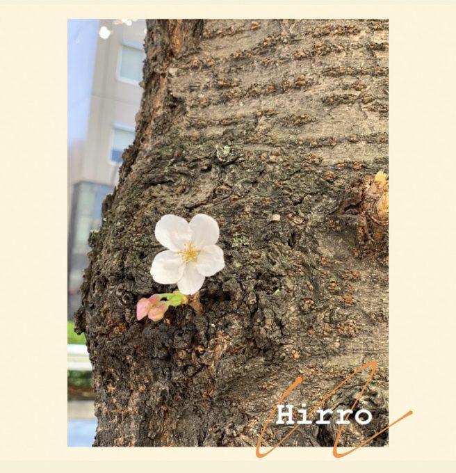 🌸SAKURA咲き始めた🌸